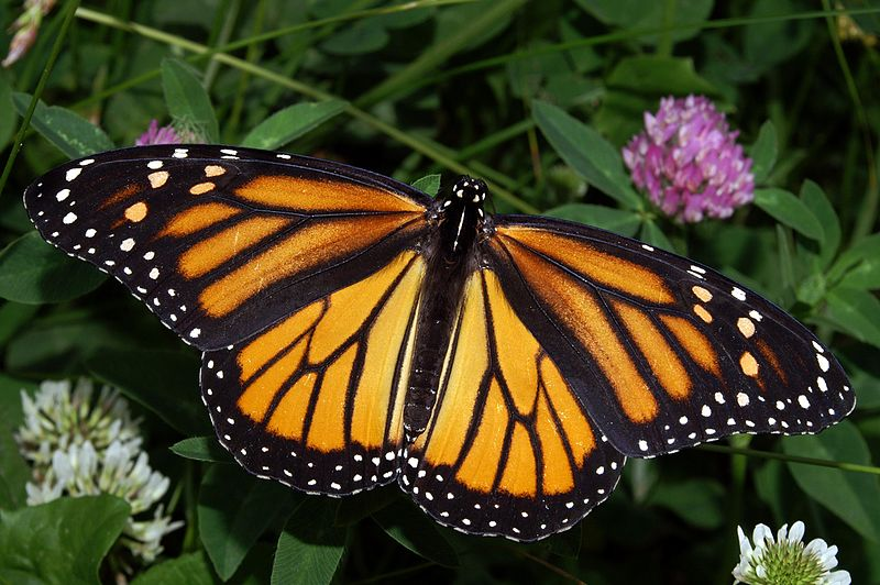 Monarch butterfly (Danaus plexippus), Source: Wikipedia Commons