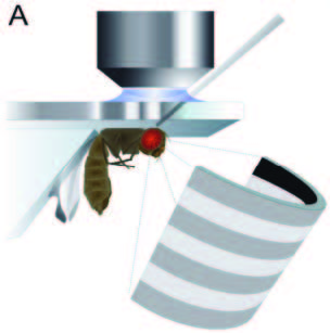 An example of the experimental set-up to measure the neuron activity and visual field of the fruitfly. Image is courtesy of Matthew S. Maisak, Juergen Haag et al, Max Planck Institute of Neurobiology.